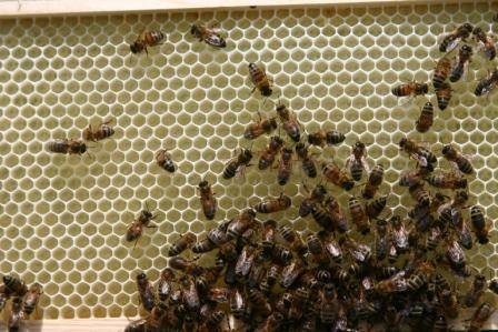 bees on honeycomb web.jpg